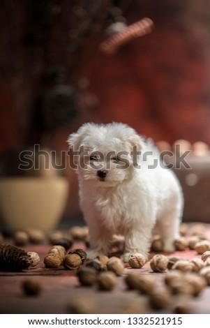 Home a pet Maltese