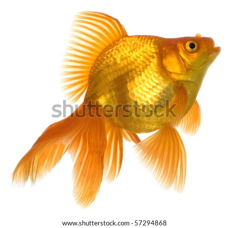 Home animals. Golden fish. Golden swimming fish in aquarium on white background - stock photo