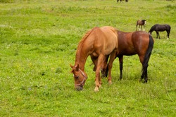 Home beautiful slender tame strong brown horses eat grass on a green meadow on a summer sunny day