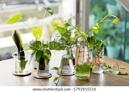 Home decor plant in water propagation. Water propagation for indoor plants. Foto stock ©