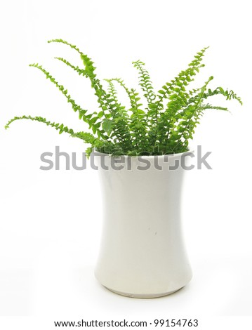 home fern in the lovely white pot  isolated on white