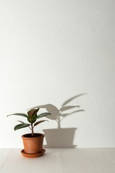 Home flower Ficus close-up on a white table against a white wall, the shadow of a flower on the wall, biophilic design
