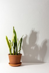 Home flower Sansevieria close-up on a white table against a white wall, the shadow of a flower on the wall, biophilic design