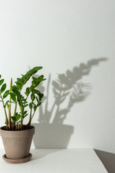 Home flower Zamioculcas close-up on a white table against a white wall, the shadow of a flower on the wall, biophilic design
