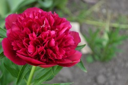 Home garden, flower bed. House, field, farm. Green leaves, bushes. Flower Peony. Gardening. Paeonia, herbaceous perennials and deciduous shrubs. Red flowers