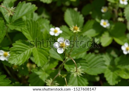 Home garden, flower bed. Useful green plant. Tasty and healthy. Strawberries. Fragaria vesca. Bushes of strawberry. Red juicy berries. Fragrant berries. Healing berries. Flowers strawberries #1527608147