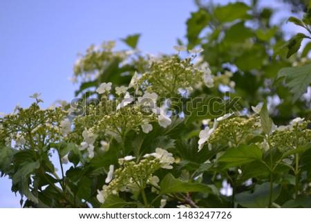 Home garden, flower bed. Viburnum, a genus of woody flowering plants Adoxaceae. Useful tree plant. White flowers #1483247726