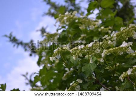 Home garden, flower bed. Viburnum, a genus of woody flowering plants Adoxaceae. Useful tree plant. Medicinal fruits. Red berries. Tea, syrup, jam. Green. White flowers #1488709454