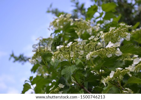 Home garden, flower bed. Viburnum, a genus of woody flowering plants Adoxaceae. Useful tree plant. Medicinal fruits. Red berries. Tea, syrup, jam. Green branches. White flowers #1500746213