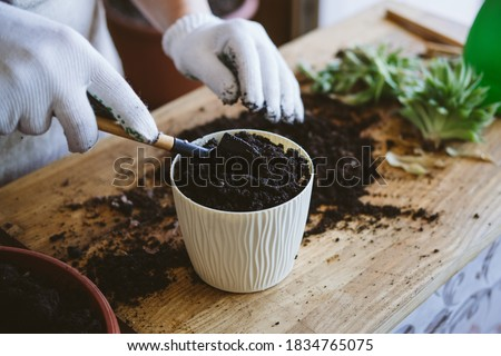 Home garden. How to Transplant Repot a Succulent, propagating succulents. Woman gardeners hand transplanting cacti and succulents in cement pots on the wooden table.