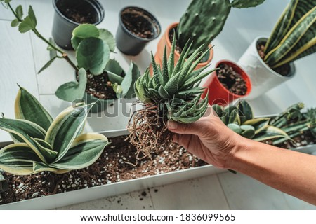 Home gardening woman planting new succulent hawthoria plant in apartment indoor garden planter. Repotting rootbound plants in potting soil. Photo stock ©