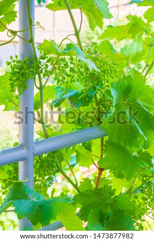 Home grapes growing on a spiral staircase in the summer #1473877982