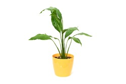 home green plant Spathiphyllum in yellow flower pot on white background isolated