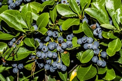 Home grown blueberry plant within your backyard / Blueberry plant / Growing your own can be an experience if you live in the right climate