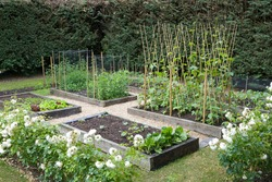 Home grown (homegrown) organic vegetables growing in a UK garden in spring