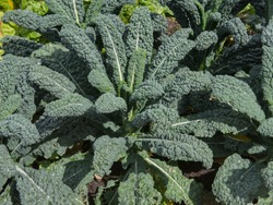 Home Grown Organic Kale 'Nero di Toscana' (Brassica oleracea 'Acephala') Growing on an Allotment in a Vegetable Garden in Rural Devon, England, UK