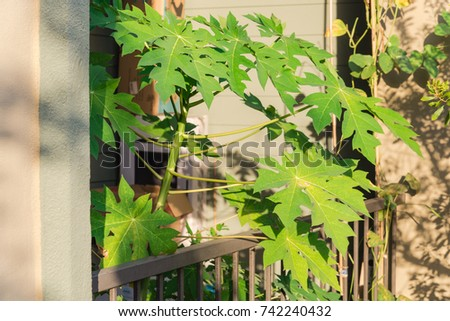 Home grown organic papaya, bean in the pots over the apartment in Humble, Texas, USA. Urban farm and container gardening concept. Great for agriculture publication #742240432