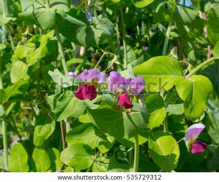 Home Grown Organic Pea 'Purple Podded' (Pisum sativum) Growing on a Hazel Frame on an Allotment in a Vegetable Garden in Rural Devon, England, UK Photo stock ©