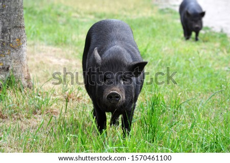 Home improvement is a big black pig. Pig breeding is involved in raising and raising domestic pigs. Free walk in nature