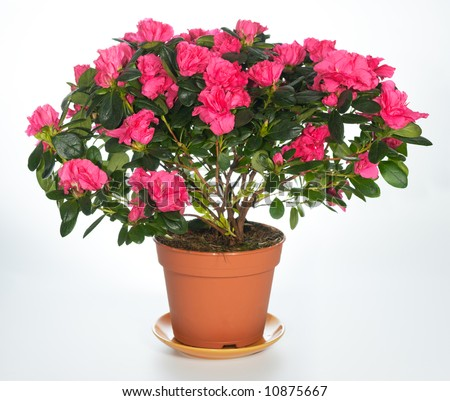 "Home plant azalea ""Rhododendron simsii"" on light background ( not isolated). Six shots stitch image. #10875667"
