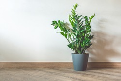 Home plant Zamioculcas, also known as Zanzibar gem in home interior with copy space