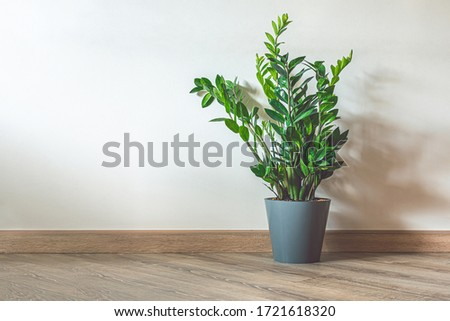 Photo of  Home plant Zamioculcas, also known as Zanzibar gem in home interior with copy space