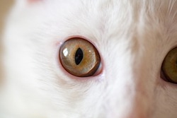 Home white albino cat with yellow eyes. Cat's eyes close up. White wool.