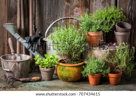 Homegrown and aromatic herbs in old clay pots #707434615