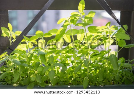 Homegrown basil trees in condominium. This picture is suitable for such concept as houseplant, condo gardening, kitchen garden, balcony gardening, fresh vegetable, minimalism, organic veggie.