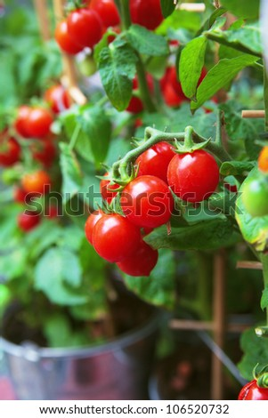 Homegrown cherry tomatoes in a pot - stock photo