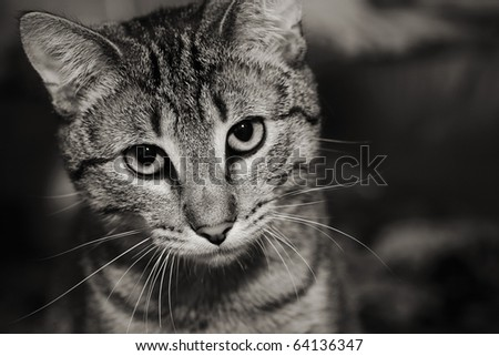 Homeless animals series. Beautiful tabby cat with a sad face looking out. Black and white image.