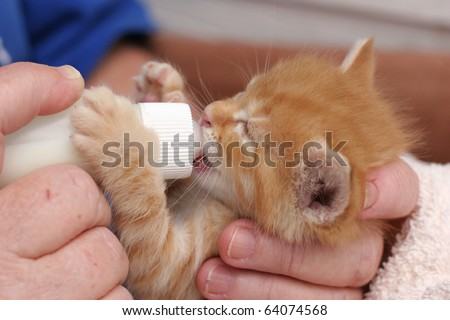 Cute Ginger And White Kittens. Cute ginger tabby kitten