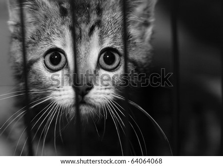 Homeless animals series. Tabby kitten looking out from behind the bars of his cage. Black and white image. - stock photo