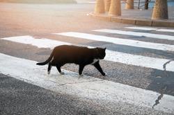Homeless black cat crossing the street