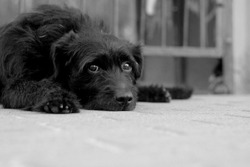 homeless cute black dog with sad eyes lies on the ground in the street, the theme of animal welfare and homeless animals