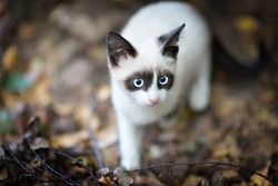 homeless Cute Siamese kitten outdoor.