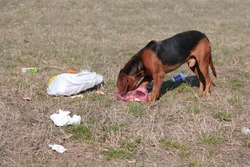 homeless dog eating food in the garbage.