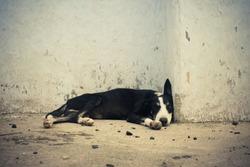 Homeless dog sleeping near by wall.