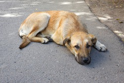 homeless red dog with kind eyes looks into the camera lens, lying on the asphalt