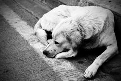 Homeless stray dog laying at urban road