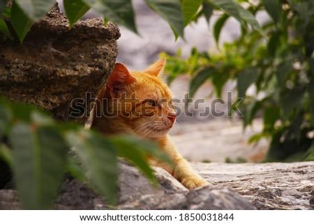 Homeless Yellow Tabby Cat Stock foto ©