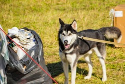 Homemade dog on a leash near garbage bags. The problem of training pets. The animal is looking for food in the trash.