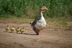 Homemade geese. Goose mum leads on the road four small goslings.