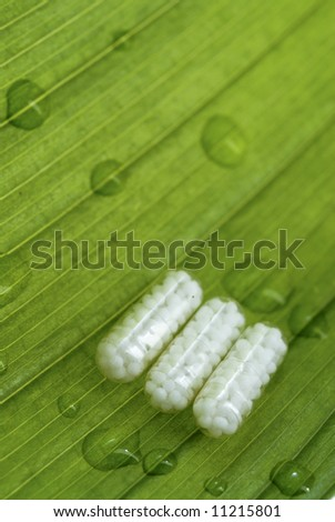 homeopatic pills over a green leaf with some water drops on it