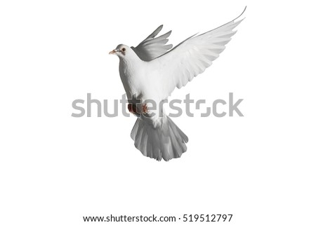 homing pigeon with spread wings isolated on white