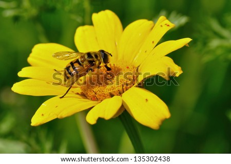 Honey bee and tiny red bugs on yellow flower. Spring season.