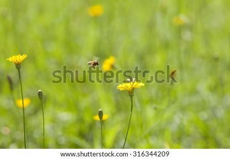 Honey bee and wild yellow flower on green grass. Dandelion background