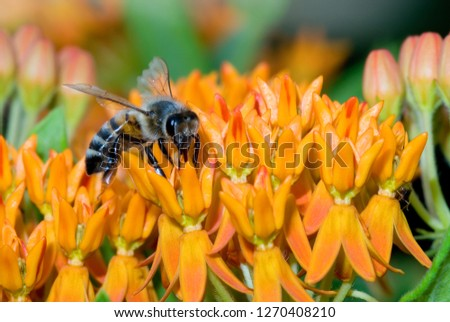 Honey bee (Apis mellifera) nectaring on butterfly weed (Asclepias tuberosa), a member of the milkweed family (Asclepiadaceae). Tongue of bee is visible penetrating flower for access to nectar.