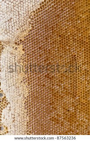 Honey bee cells