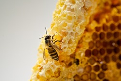 Honey bee climbing on honeycomb. Macro photography.a close up shot of bee in a bee hive with honey combs working producing honey. Concept hard work.